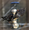 PAIR OF MALE STARLING (Shaun's Photographic World.) Tags: birds shaund