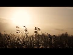 Siege of Güns (martinfowlie) Tags: winter light sunset cold reeds norfolk marsh phragmites broads siegeofgüns