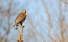 Bird of Prey (Steve Lindenman) Tags: bird hawk wildlife birdofprey lindenman