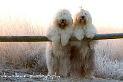 dutch polar bears * explore * (dewollewei) Tags: winter dog dogs quality bears group vision hunde bobtail oes madeingermany queserasera sweetexpressions platinumheartaward dewollewei ldlportraits sophieandsarah oldenglisgheepdog