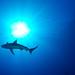 Shark, Kronos Reef