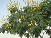 Peltophorum pterocarpum or ചരക്കൊന്ന (cpmkutty) Tags: floweringtrees copperpod peltophorumpterocarpum peelagulmohar gulmoharfamily carsalpiniaceae yellowfametree ചരക്കൊന്ന