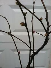 bud mites (growing hazelnuts) Tags: treeidentification treediseases yearlingtreecare