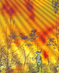 meercat in field