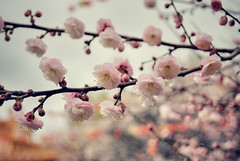 what we've spoken over time, never broken or compromised (sevenworlds16) Tags: pink flowers winter bokeh cherryblossoms wonderfulworldofflowers