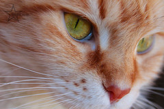 Cuca (Mikan) Tags: cats cat maine gatos gato mainecoon neko