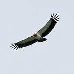 028007-IMG_1773 King Vulture (Sarcoramphus papa) thumbnail