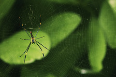Mr.Spidey - The Web Master | Explored (VinothChandar) Tags: wood india color macro green yellow forest canon insect photography spider photo colorful dof photos pics vibrant wildlife web picture vivid reserve pic spidey 5d tamilnadu gaint mudumalai mudhumalai gaintwoodspider