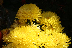 Yellow Mum Flowers (shaire productions) Tags: flowers plant flower nature floral yellow bright image chinesenewyear mum vegetation presentation lunarnewyear imagery