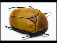 Pachnoda magrinata magrinata (Mashku) Tags: nature beetle insects beetles coleoptera scarabeidae pachnoda cetoniidae cetoniini cetoniine