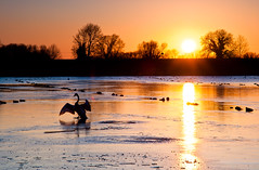 The Dancing Swan (Markro) Tags: winter sunset ice water swan reservoir tring tringreservoirs startopsend