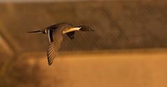 Pintail - Anas acuta (welshmanwandering1) Tags: birds waterfoul wildlife ducks wwt slimbridge pintail