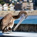 Brown Pelican on Capitola Pier