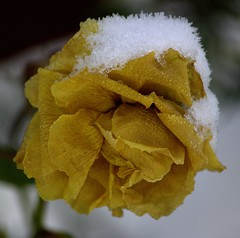 Frozen Rose (Chrissie28IWish! ~ hubby passed away 5th Dec peace) Tags: white snow flower ice floral rose yellow closeup garden frozen petals bokeh yahoo:yourpictures=winterv2