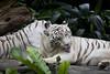 IMG_2481 (Marc Aurel) Tags: zoo singapore tiger tigre singapur whitetiger zoologischergarten singaporezoo weddingtrip hochzeitsreise bengaltiger pantheratigris zoologicalgarden königstiger pantheratigristigris royalbengaltiger pantheratigrisbengalensis weisertiger 5dmarkii eos5dmarkii indischertiger tigrebiancha