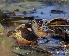"""Swamp Sparrow"" ""Melospiza georgiana"" (jackhawk9) Tags: nature birds canon newjersey wildlife ngc sparrow southjersey edwinbforsythenationalwildliferefuge swampsparrow melospizageorgiana jackhawk9"