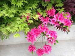 (amt40) Tags: flower primavera garden spring flor japanesemaple acer azalea deciduous shrubs palmatum arcejapons uploaded:by=flickrmobile flickriosapp:filter=nofilter