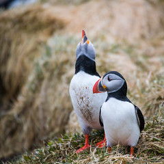 When 2 R in love (OR_U) Tags: 2 two bird love animal iceland prince squareformat oru puffins courtship 2016 borgarfjrureystri quadratum