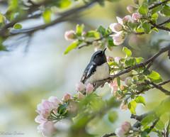 black-throated blue warbler (melike erkan) Tags: flowers tree bird nature animal spring flickr dof blossom bokeh may bloom warbler blackthroatedbluewarbler flickrnature springmigration