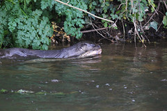 European otter (Lutra lutra) with lamprey  (13) (Geckoo76) Tags: river otter lamprey lutralutra europeanotter
