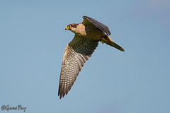 Lanner Falcon (?) (parry101) Tags: bird nature birds animal animals for centre international falcon prey falcons lanner icbp