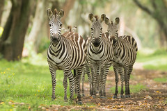 Zebra (Wouter's Wildlife Photography) Tags: nature animal mammal kenya wildlife zebra equusquagga