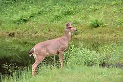 Deer_6923a (johnmoffatt2000) Tags: wild nature water field grass pond nikon doe deer sammamish d7200
