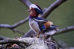The rain maker (photography.vincentbuck.com) Tags: brussels belgium mandarinduck aixgalericulata multisegment mandarinente mandarijneend 700mm 1320s canardmandarin 2000iso patomandarn rougeclotre f5600 anatramandarina nikond4s vr500mmf4