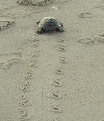 Pooped (Cocoabiscuit) Tags: ocean beach evening turtle olympus shore delaware bethanybeach em5 cocoabiscuit