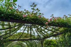 2016 Rose Garden (shinichiro*@OSAKA) Tags: flower spring may jp  yokohama kanagawa crazyshin pergola 2016    afsnikkor2470mmf28ged nikond4s  20160510ds31388