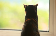 Phoebe at the window (Allie.C.Riley) Tags: uk cat pretty yorkshire tortoiseshell phoebe huddersfield