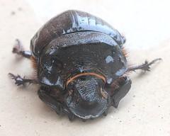 ecosystem/fauna/Dung Beetle(Catharsius molossus)-1? (biodiversity western ghats) Tags: coleoptera scarabaeidae insectindia diversityindia scarabaeinae