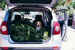 (annatsukino) Tags: beagle original car portrait animal pet dog instagram catalonia chevrolet