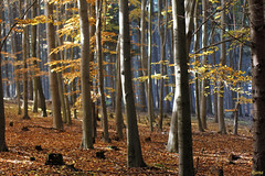 Enchanted forest (Rianetna) Tags: wood les forest beech buk bosco fagus foresta beechtrees faggi beechforest buiny buky smenles