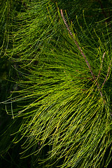 "Ironwood Needles • <a style=""font-size:0.8em;"" href=""http://www.flickr.com/photos/55747300@N00/6409126129/"" target=""_blank"">View on Flickr</a>"
