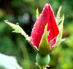 Rosebud, with raindrops (Martin LaBar) Tags: red flower beautiful rain rose petals drops bravo waterdrop southcarolina rosebud peta raindrops lovely waterdrops raindrop rosaceae sepals sepal pickenscounty