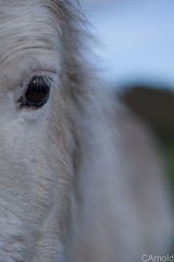 Shetland pony new forest (justyourcofchi) Tags: park new uk portrait england eye face up animal forest fur 50mm model flickr photographer close cross head hampshire pony national newforest shetland detailed stoney canon50mm chiarnold justyourcupofchicom justyourcupofchi