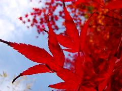 (Carolina Arai) Tags: trip travel autumn red vacation fall hojas rouge fire rojo colorado warm momiji otoo fuego calido  automneautumncolors arce