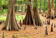 Bald cypress trees out of the water (After darkness, light.) Tags: roots baldcypress sumpfzypresse swampcypress taxodiumdistichum cyprèschauve cipréscalvo baldcypressknees southerncypress kahlezypresse ciprestecalvo