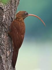 Red-billed Scythebill (Campylorhamphus trochilirostris) (PeterQQ2009) Tags: brazil birds redbilledscythebill campylorhamphustrochilirostris arapau