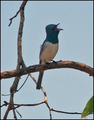 Leaden Flycatcher - Myiagra rubecula (jpmckenna - Madagascar Trip Now) Tags: flycatcher myiagrarubecula leadenflycatcher