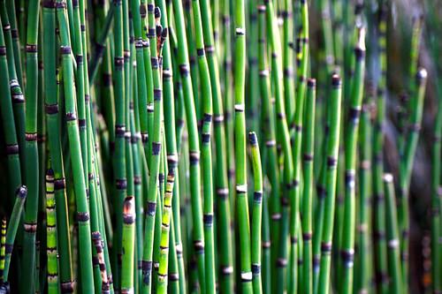 horsetail waterplant equisetumfluviatile