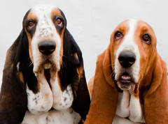 Basset Hounds, Basil and Maude with a Pair of Bottom Chins! (Photo Gal 2009) Tags: dog white black bottom tan hound canine bum basset basil maude bassethound tricolour hushpuppies flabby hushpuppy longears flab bicolour bumchin tanandwhite blackwhitetan flabbychin bottomchin
