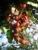 Adenanthera pavonina - Sandalwood, Red Sandalwood, Red Bead Tree, Coralwood (gailhampshire) Tags: st flora lucia pavonina redbeadtree adenanthera coralwood redsandalwood taxonomy:binomial=adenantherapavonina