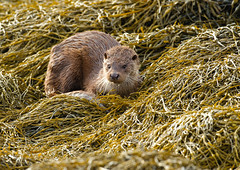 Otter (Lutra Lutra) ~ Isle of Mull. December 2011. (Photography by Clare Scott) Tags: uk winter nature canon scott photography scotland clare id otter 500mm mull mkiv lutra