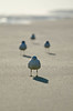 1 of 4 (LKungJr) Tags: seagulls birds shadows beachbirds 1001nights flickrbronze