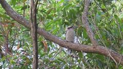 Kookaburra and flycatcher (neilfif11) Tags: birds sydney australia kookaburra flycatcher warriewood leadenflycatcher canonsx40hs