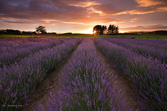 Lavender Dawn (Chris Gin) Tags: newzealand sunrise farm lavender nz alphra photocontesttnc12 dailynaturetnc12
