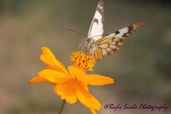 Butterfly (RajivSinha Photography) Tags: flower butterfly rajivsinhaphotography