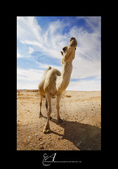(Abdulilah Al-yousef ) Tags: desert lg soil camel sands camels the          a   1116mm